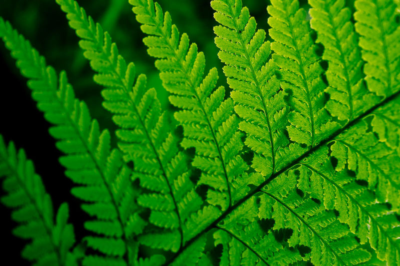 Green Color Plant Part Leaf Growth Plant Nature No People Close-up Day Backgrounds Beauty In Nature Fern Full Frame Natural Pattern Pattern Leaf Vein Selective Focus Freshness Outdoors Focus On Foreground Leaves