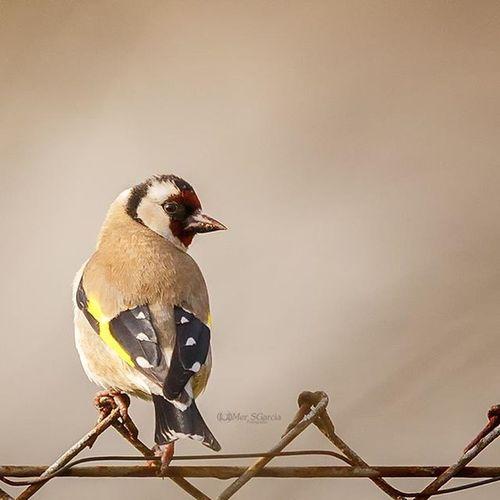 Jilguero Colorin Cardeliuscardelius Birds Birdstagram Ave Aves Pajaro Pajaro Pajaros Pajaros Jardin Garden Avedejardin Wildlife @seo_birdlife