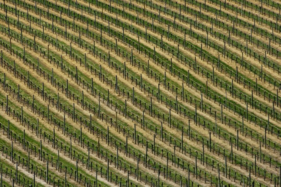 A landscape of staked vines waiting for spring in the vineyards of the Adelaide Hills Abstract Photography Adelaide Hills Aerial Photography Agriculture Australia Backgrounds Beauty In Nature Day Field Full Frame Growth In A Row Landscape Lines In Nature Nature No People Outdoors Pattern Rows Rural Scene Travel Vines Vineyard Viticulture