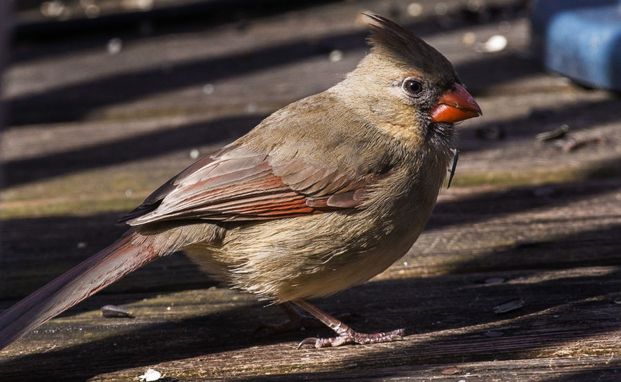 Deep shadows Northern Cardinal Female Animal Animal Themes Animal Wildlife Animals In The Wild Bird Close-up Focus On Foreground Full Length Nature No People One Animal Outdoors Shadow Sunlight Vertebrate Wood - Material Zoology