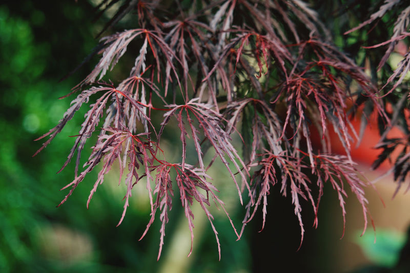 Close-up of red leaves on tree