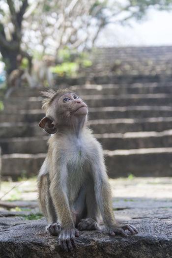 primate