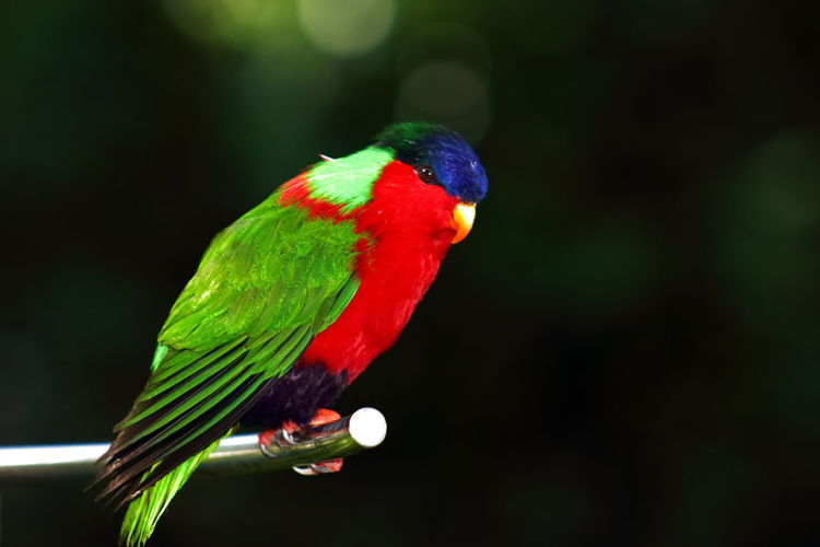 Animals In The Wild Beauty In Nature Bird Bird Photography Birds Of EyeEm  Birds_collection Birds_n_branches Blue Headlights Close-up Figi Lory Multi Colored Parrot Perching Phigys Solitarius Rainforest Birds Red