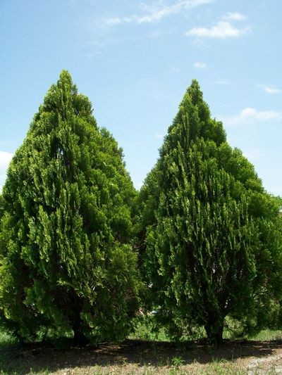 Two Trees Two Bushes Green Trees Green Bushes
