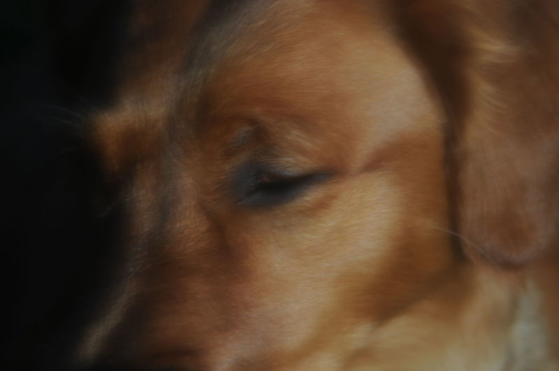 Emoline Golden Girl Lukhan Golden Retriver Animal Animal Body Part Animal Eye Animal Head  Animal Themes Brown Canine Close-up Dog Domestic Domestic Animals Indoors  Looking Looking Away Mammal No People One Animal Pets Relaxation Selective Focus Snout Vertebrate