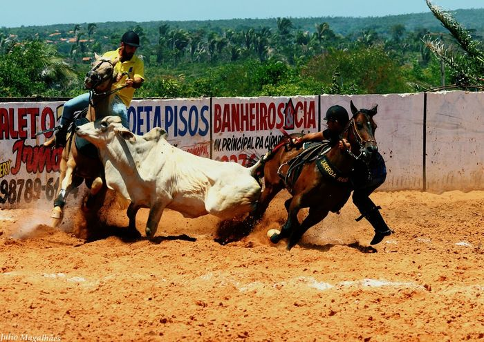 EyeEm Selects Horse Horseback Riding Competition Animal Themes Outdoors Domestic Animals Adult Vaqueiro Vaquejada Boi Nelore Cavalo Adults Only Animal Riding Sports Race Cowboy Mammal São Luís - MA Working Animal Farmer Vaca Cow Sand