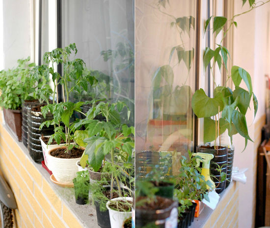Tomato seelings on the balcony Balcony Beans Close-up Day Flowerpot Flowers Garden Gardening Green Green Color Growth Leaf Nature Plant Seedling Seedlings Soil Sprout Tomato