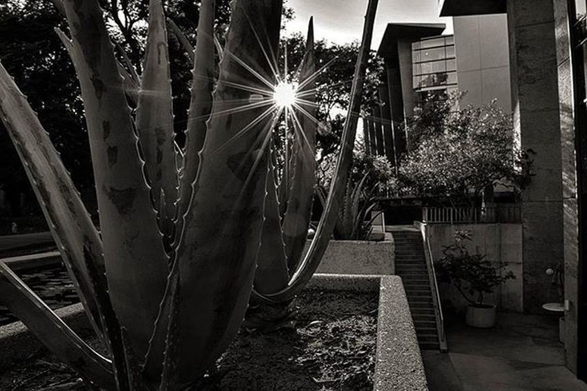 Plant Aloe Succulent Sun Rays Lensflare Travel Letsgosomewhere California Blackandwhite Bnw Bnw_photo Bnw_life Bnw_captures Bnw_society Nikon D3300