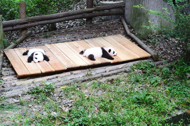 Two Child Pandas Outdoors Sleeping Animals Panda Chengdu