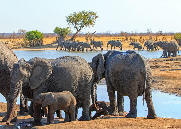 Group Of Animals Animal Themes Animal Elephant Mammal Animals In The Wild Animal Wildlife Water Large Group Of Animals Safari Animal Family African Elephant No People Hwange National Park Wildlife & Nature Animals In The Wild