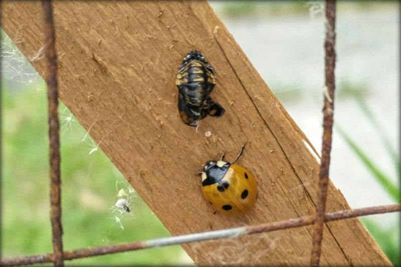 New ladybird. Transformation Pupa Ladybirdpupa Life Nature Ladybird Warmingup Drying Out Emerging New Beauty In Nature
