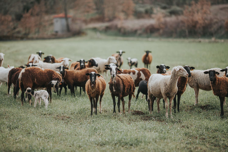 Farm Large Group Of Animals Animal Themes Domestic Domestic Animals Environment Field Group Of Animals Herbivorous Land Landscape Large Group Of Animals Livestock Mammal Nature Plant Sheep Sheep Farm Sheeps Sheep🐑 Whool