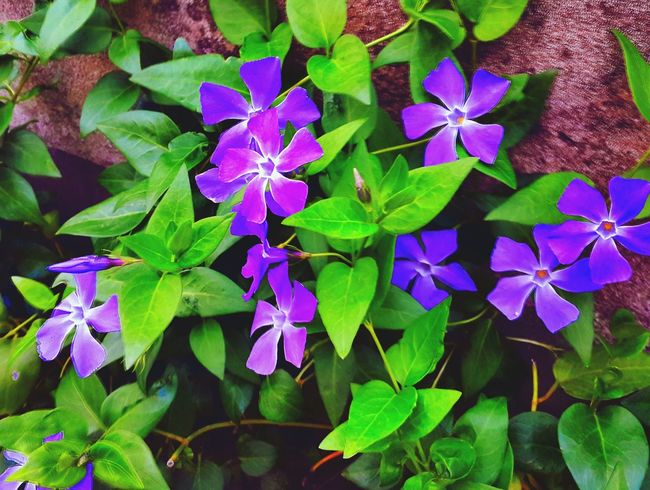 Springsheen Colors And Patterns Purple Growth Flower Freshness Full Frame Close-up Beauty In Nature Petal Flower Head Vibrant Color In Bloom Leaf Green Color Fragility Nature Eyeem Photography Daylight Photography Springtime Spring Flowers Simple Things In Life
