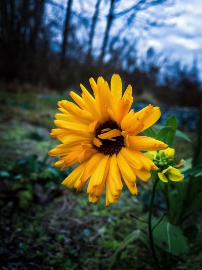 before winter EyeEm Nature Lover EyeEmNewHere Coulors Flower Plant Flowering Plant Inflorescence Flower Head Growth Petal Focus On Foreground No People Nature Pollen Outdoors Freshness Close-up Vulnerability  Beauty In Nature Fragility Yellow Day