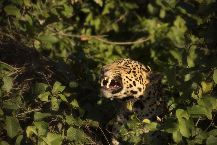 Close-up of jaguar against trees