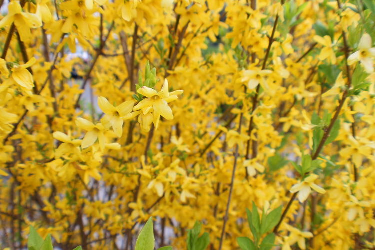 Yellow Flowers Outdoors No People