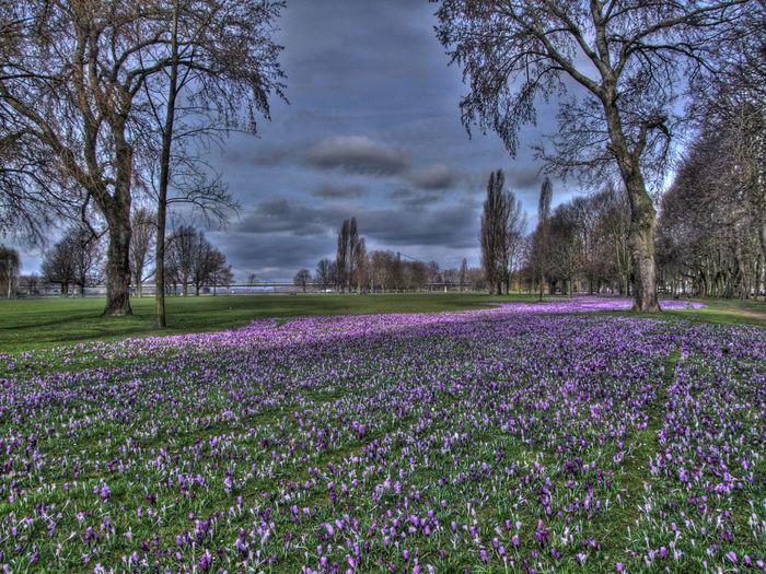 Blaue Band Düsseldorf Flowers HDR Krokusse Nature No People Rheinwiese Trees