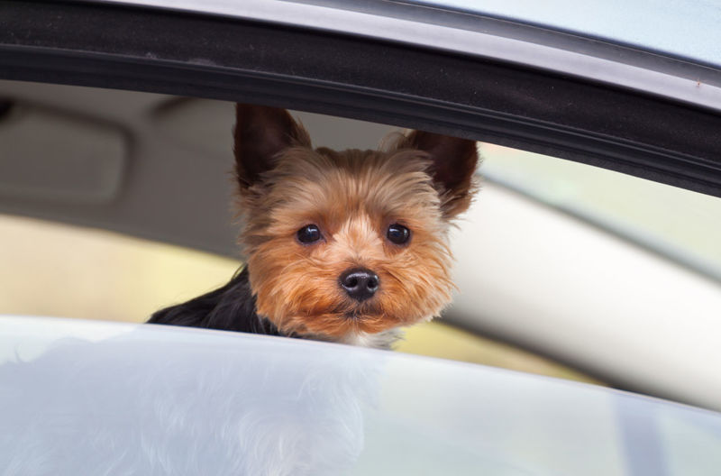 Animal Themes Close-up Curiosity Curious Curious Dog Cute Animals Cute Pets Day Dog Domestic Animals Hairstyle Hello World Little Dog Looking At Camera Looking Out Of The Window No People One Animal Pastime Pets Portrait Traffic Jam Window View Yorkshire Terrier Pet Portraits