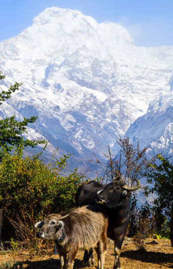 Animal Themes Annapurna Mountain Range Beauty In Nature Buffalo In The Mountains Cold Temperature Day Domestic Animals Landscape Mammal Mountain Mountain Range Nature No People Outdoors Scenics Sky Snow Winter