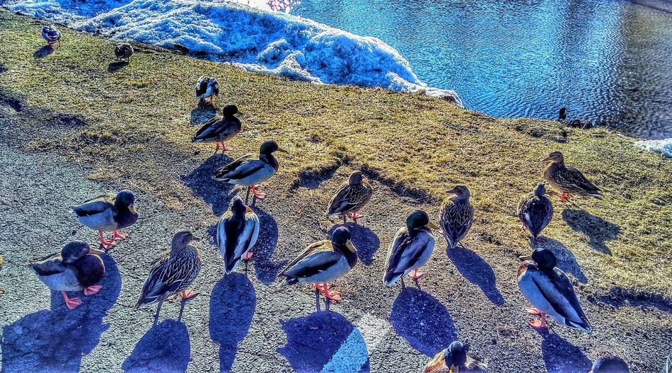 Ducks Geese Bird Wildlife Pond Winter Cold Temperature Full Frame Pattern Backgrounds Day Sand Sunlight Shadow High Angle View Outdoors Textured  No People Close-up Nature