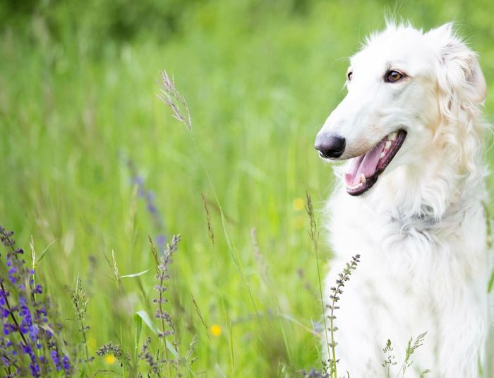 Check This Out Dog Dogs Dogslife Borzoi Springtime Spring Spring Flowers Greyhound Furry Friends Cute Pets Taking Photos