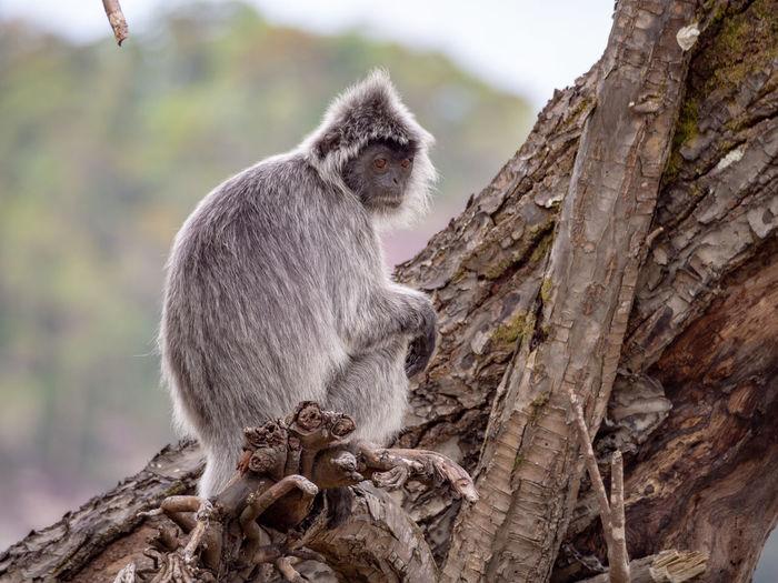 Silvered Leaf Monkey (Trachypithecus cristatus) Bako Bako National Park Sarawak Borneo Malaysia Nature Outdoors No People Animal Wildlife Animals In The Wild Mammal Primate Monkey Silvered Leaf Monkey One Animal Tree Tropical Rainforest Rainforest