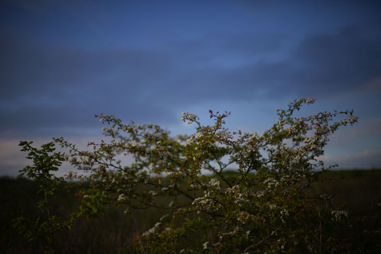 Low angle view of flowering trees on field against sky