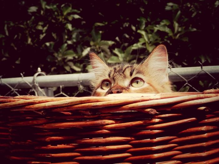 Close-Up Of Cat In Wicket Basket