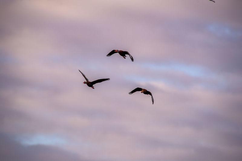 Ducks soars