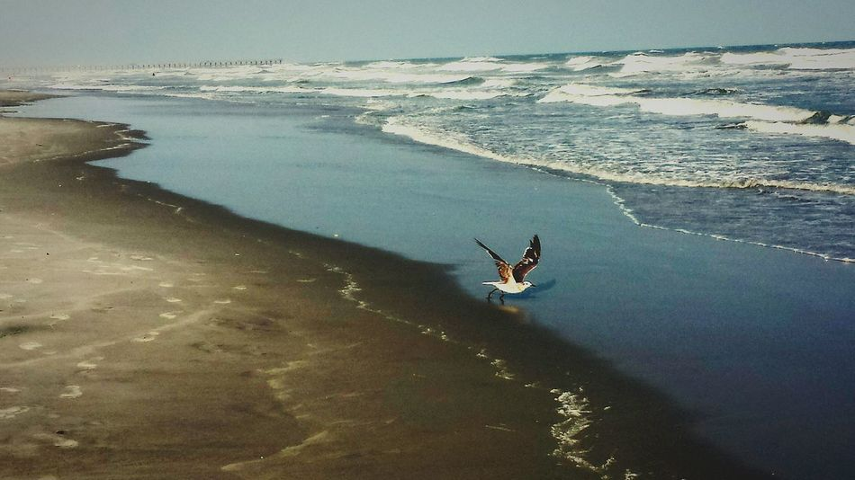 Seagulls living large! Free Bird Beachphotography Beach Life FlyHigh Peace and Quiet The Calm After The Storm Beach_Collection Ocean_collection