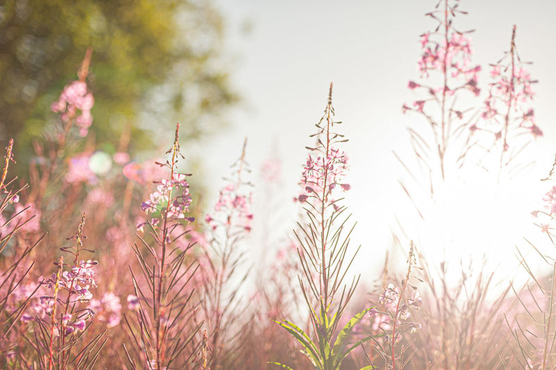 Close-up of pink flowering plants on field against sky