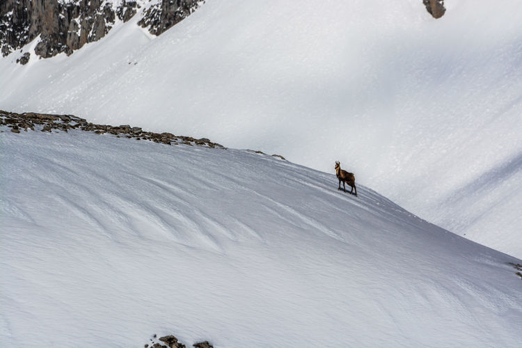 Deer on snow covered mountain against sky