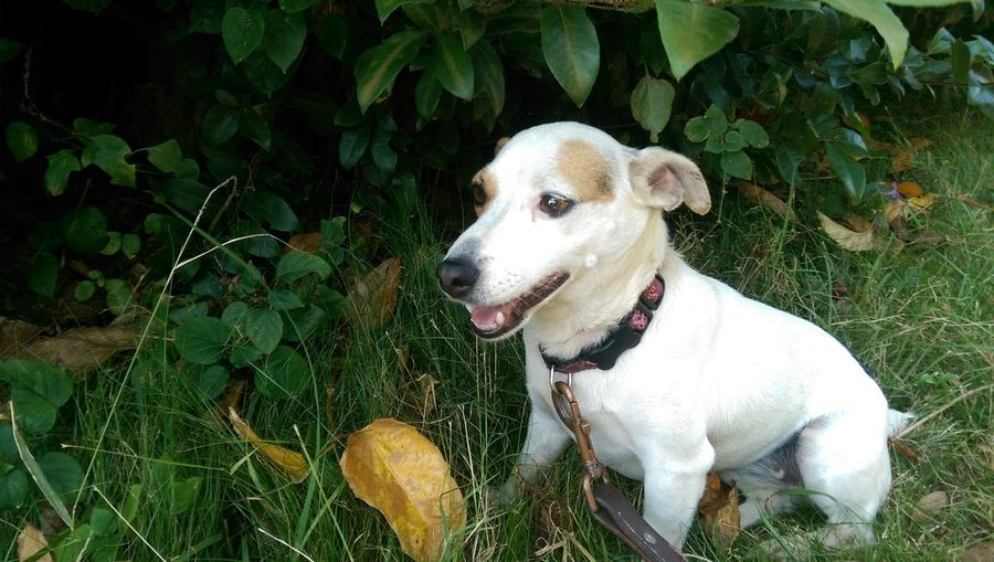 Jack Russel Terrier Mix Fun Girl Time  Girl Dog Dog Pets Domestic Animals One Animal Animal Themes Mammal Leaf Day Outdoors Growth No People Nature Shade Weeds Theresastoryintheeyes Big Island Hawaii Aloha Namaste ❤ Puppy Puppy Love