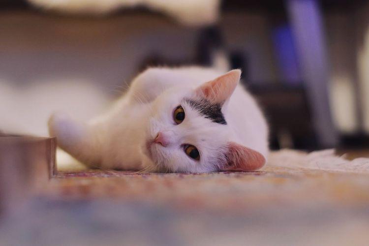 Close-up portrait of white cat nala