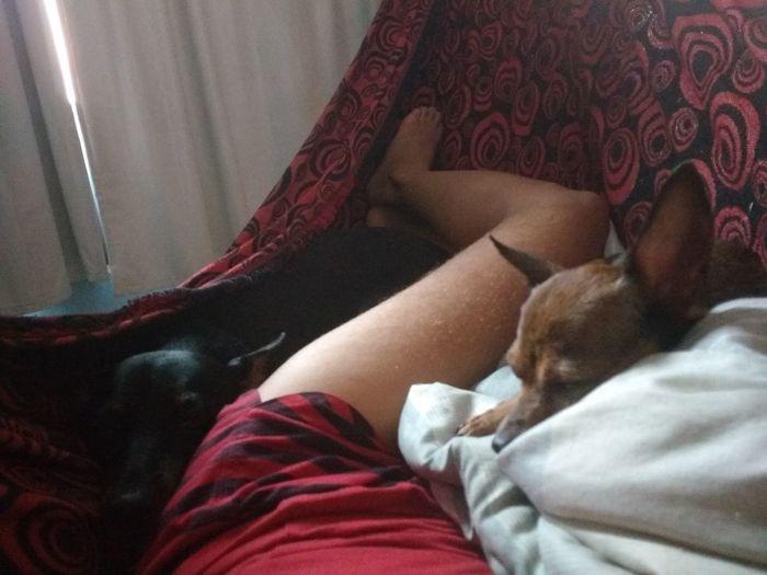 Pinscher Dog Cachorros Rede