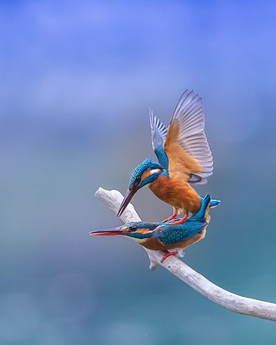 Kingfishers perching on twig