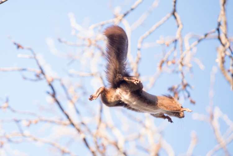 Squirrel flying against sky