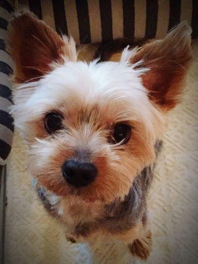 Eyeem Best Shots - Animals Beautiful Animals  EyeEm Animal Lover Our Best Pics IPhoneography Mydog Mydog♡ Dog Dog Love Yorkshire Terrier Dogs Dog❤ Dogs Of EyeEm Cute Pets