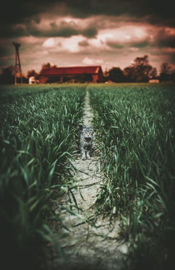 Agriculture Field Sky Nature Landscape Growth Grass Farm Cloud - Sky Outdoors One Animal Sunset Plant No People Rural Scene Animal Themes Scenics Beauty In Nature Day Rice Paddy Cats EyeEm Best Edits The Great Outdoors - 2017 EyeEm Awards The Week On Eyem EyeEm Gallery Pet Portraits Been There.