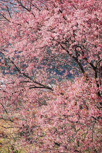 Full frame shot of pink cherry blossom