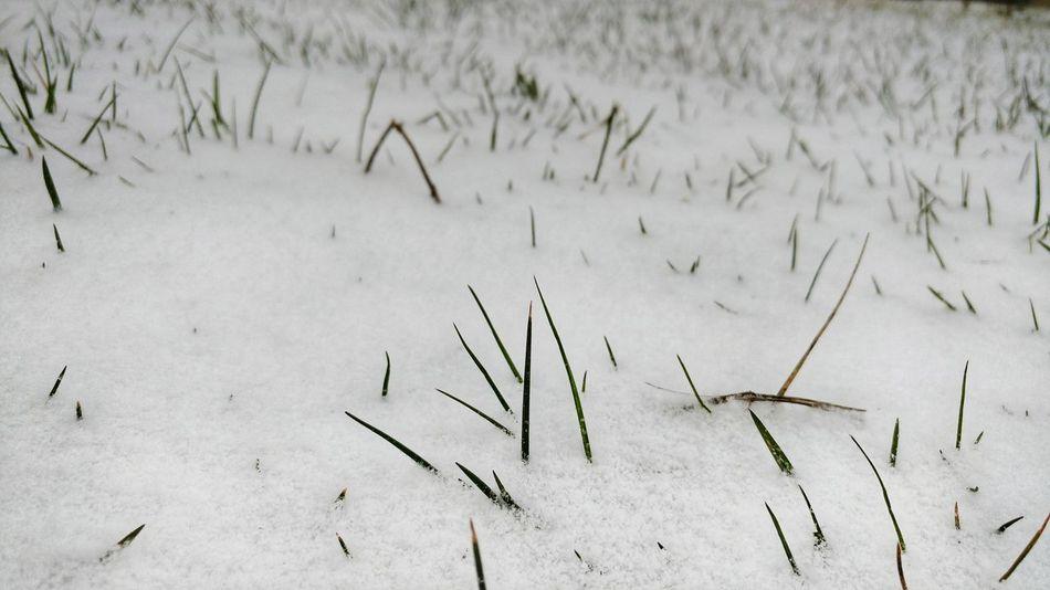 Snow Grass Snowfall Blade Of Grass
