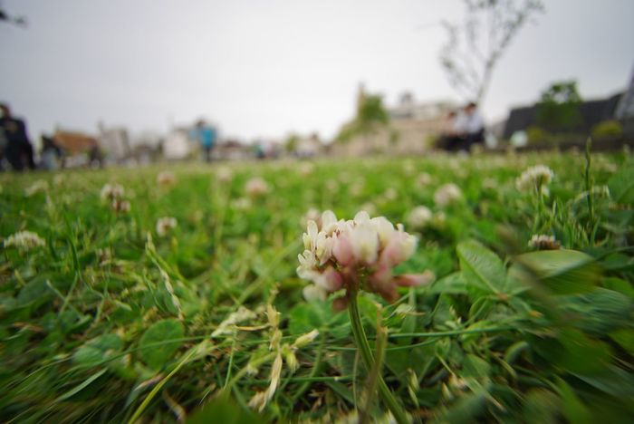 Clover Field Clover Nature In The City Close-up Bokeh Bokeh Photography Super Wide Angle 広角機動隊 Point Of View Flower The Purist (no Edit, No Filter) Beauty In Nature EyeEm Best Shots - Nature EyeEm Best Shots - Flowers EyeEm Best Shots Snapshot Taking Photos Walking Around お写ん歩
