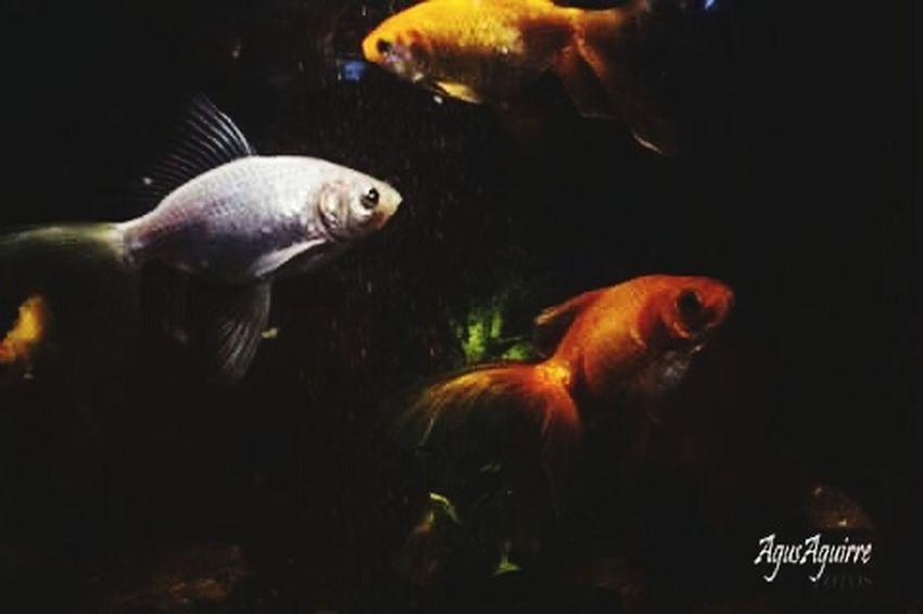 La belleza no solo esta sobre la tierra. .. Peces Peces De Acuario Pecea Dorados Acuariofilia Fish Goldfish Waterlife Wild Life