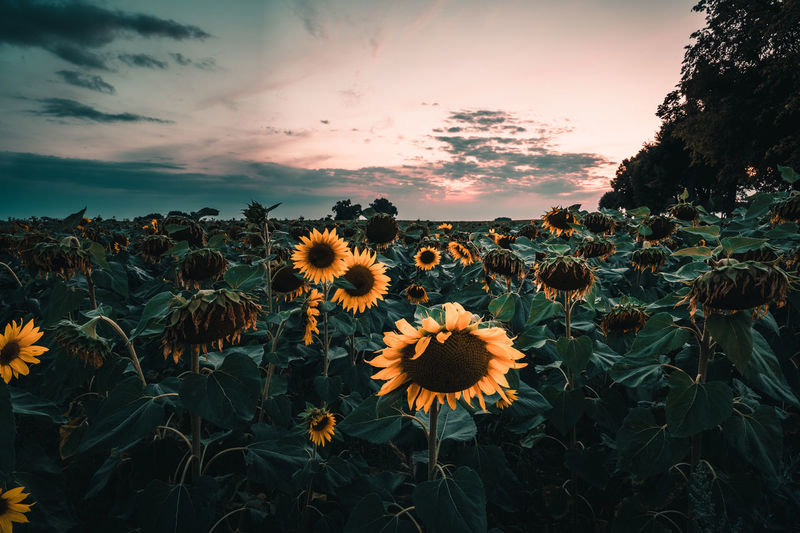 Close-up of sunflower on field against sky during sunset
