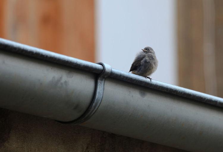 Close-up of bird perching on metal railing