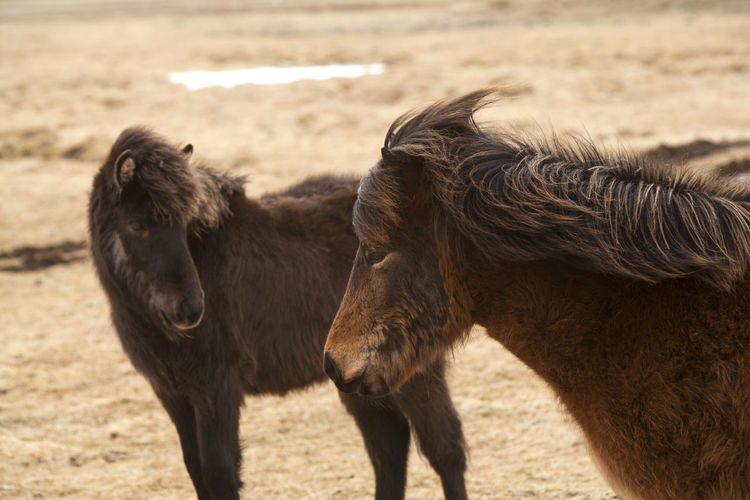 Brown icelandic horses standing on field