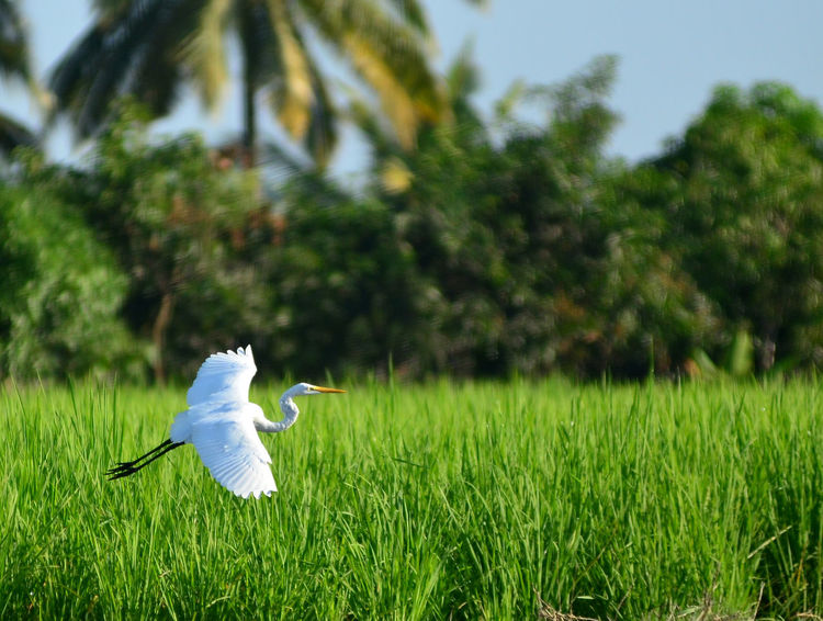 Egrettaalba Bird Birds In Flight Birds Bird Photography Birds Wildlife Nature Beauty In Nature Animal Nature Animal Themes