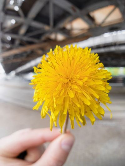 Hand Human Hand Yellow Human Body Part Flower One Person Flowering Plant Body Part Freshness Vulnerability  Real People Close-up Focus On Foreground Holding Human Finger Finger Fragility Inflorescence Personal Perspective Plant