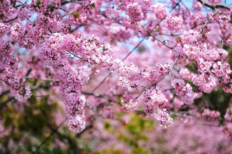 Flower Nature Tree Growth Pink Color Freshness Beauty In Nature Springtime Blossom No People Fragility Outdoors Branch Day Close-up Almond Tree Flower Head 臺灣 恩愛農場 Taiwan
