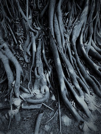 Roots Of Tree Root System Root And Branch Backgrounds Trees Tree Trunk Tree Branches Outdoors Strong Tree Standing EyeEm Tree Collection Trees And Nature Macro